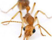 Как избавится от красных муравьев в доме. Способы борьбы с ними