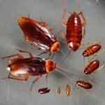 Как бороться с тараканами? Применение борной кислоты