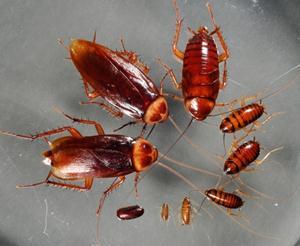 Средство против тараканов с борной кислотой