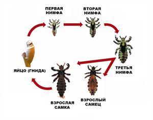 паразиты живущие в желудке человека