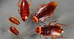 виды тараканы