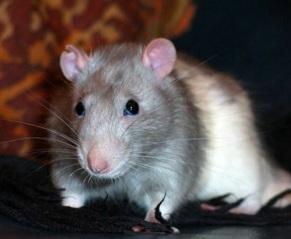 Клей против крыс