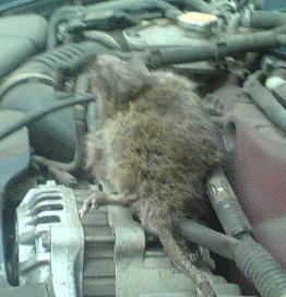 Крысы под капотом автомобиля