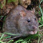Может ли крыса напасть на человека?