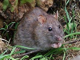 Может ли крыса напасть на человека