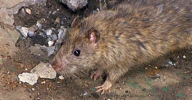 Крысы - хищные животные, которые могут есть мясо