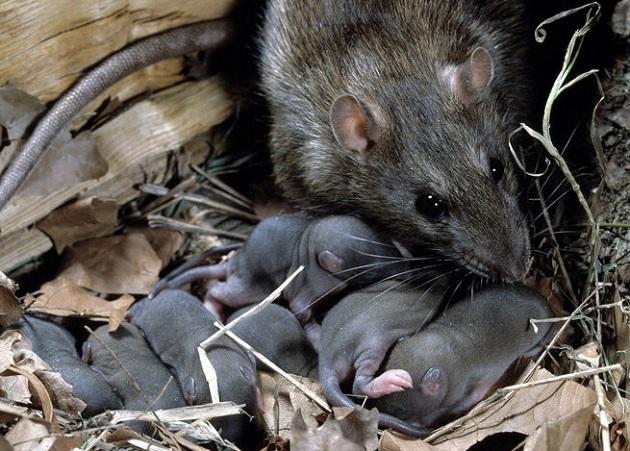 Крысы нападают на людей не часто, но такие случаи встречаются