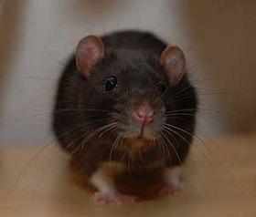 Отличие мышей от крыс