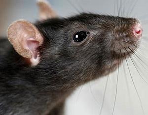 Крысы - переносчики заболеваний