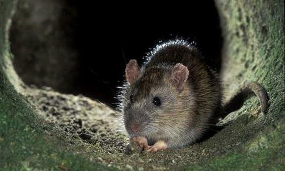 Крысы являются переносчиками множества заболеваний, в том числе смертельных