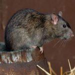Может ли крыса съесть мышь?