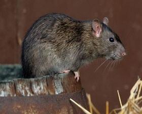 Едят ли крысы мышей