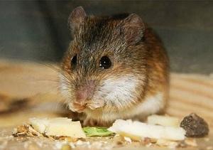 Крысы едят не только растительную пищу, но и мясо