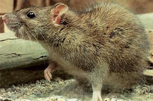 В некоторых случаях крыса может съесть мышь