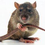 Срок жизни крыс