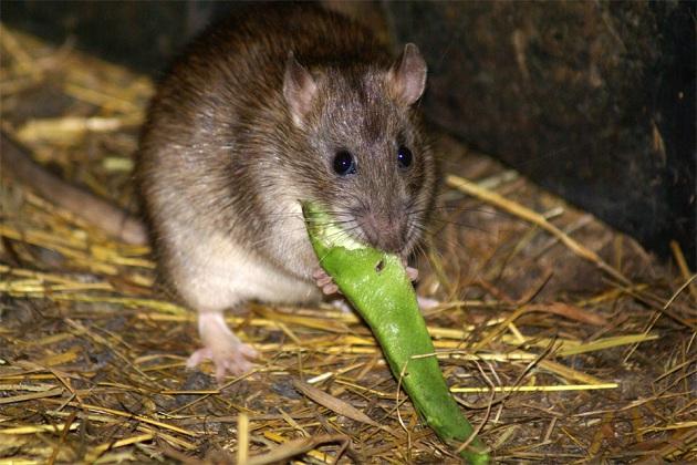 Обычно крысы живут там, где есть непосредственный доступ к пище
