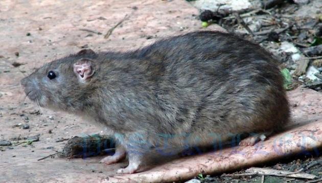 Дикие крысы живут примерно в 2 раза меньше домашних