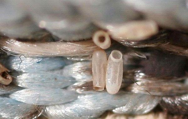 Внешний вид личинок