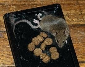 Как поймать крыс своими руками