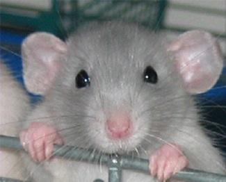 Как обнаружить крыс