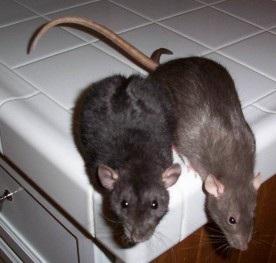 Чаще всего крысы прячутся в укромных местах