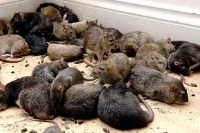 Отрава от крыс