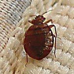 Постельные паразиты: как выглядят клопы и где искать гнезда вредителей