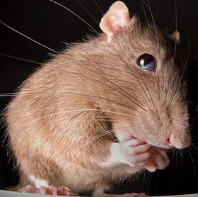 Запахи от крыс