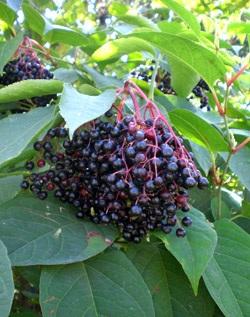 Бузина - одно из самых популярных растений от крыс