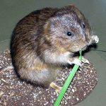 Земляная крыса: как избавиться от вредителя огорода быстро и надежно