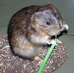 Избавление от земляной крысы