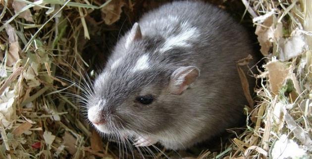 Земляная крыса в норке