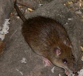 Избавление от крыс в квартире