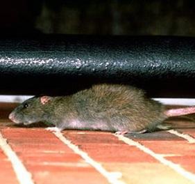 Крысы достаточно легко могут проникнуть в квартиру
