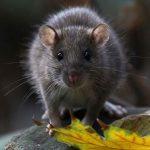 Внешний вид обитающих рядом с человеком диких крыс