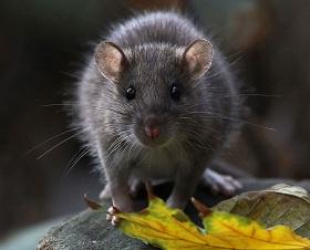 Внешний вид крыс