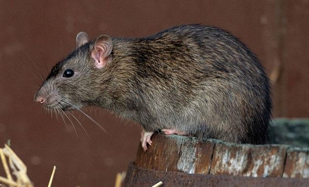 Дикая серая крыса