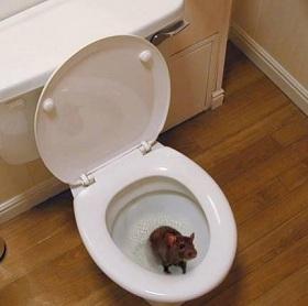 Крысы в унитазе