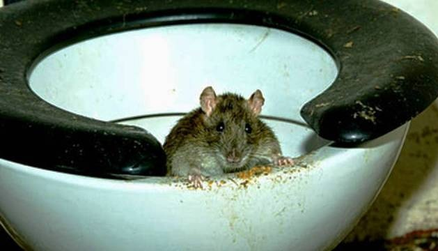 Крысы прогрызают дырки