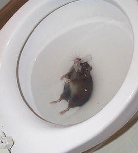 При появлении крыс в унитазе следует известить соответствующие службы