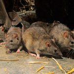 Быстрое и эффективное избавление от крыс в домашних условиях