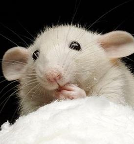 Крысы любят продукты с сильным запахом