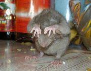 Воздействие ультразвука на крыс, виды приборов