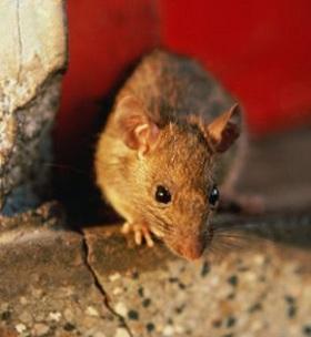 С крысами необходимо бороться, т.к. они являются переносчиками различных заболеваний