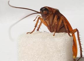 Тараканы заводятся там, где есть пища для них