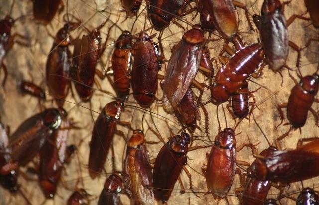 почему тараканы лезут на человека