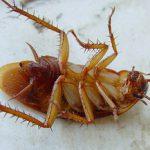 Тараканы: чего они боятся больше всего?