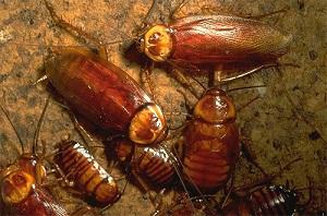 Внешний вид тараканов