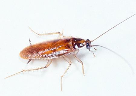 Рыжий домашний таракан (прусак)