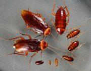 Какие тараканы живут в квартирах?
